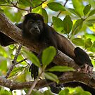 Mantled Howler Monkey by Gary Lengyel