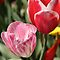 Pink and red tulip with white accents by papillonphoto