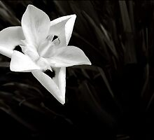 Iris of Africa in Black & White by paintingsheep