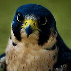Peregrine Falcon by Sue Ratcliffe