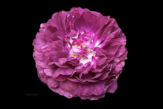 Purple rose on Ebony by LoneAngel