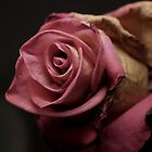 pink rose by weglet