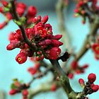 red buds by weglet
