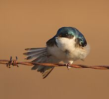 Tree Swallow Stretch - Ottawa, Ontario by Stephen Stephen