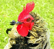 Bantam Rooster by Pieta Pieterse