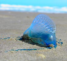 Portuguese man-of-war  (Physalia physalis) by Elias Martinez