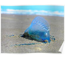 Portuguese man-of-war  (Physalia physalis) Poster