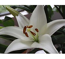 Wonderfully White With Super Stamens Photographic Print