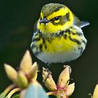 Townsend&#x27;s Warbler in Winter by Bryan Peterson