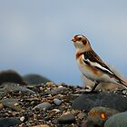 Snow Bunting by Steve Borichevsky