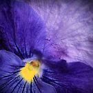 Pansy by Christine Annas
