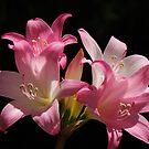 Belladonna Lily by Gabrielle  Lees