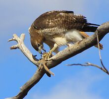 Red-tailed Hawk ~ Breakfast Ala Branch by Kimberly Chadwick