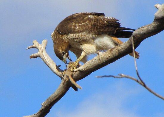 Red-tailed Hawk ~ Breakfast Ala Branch by Kimberly Chadwick