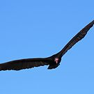 Turkey Vulture in Flight by naturalnomad