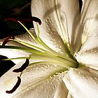 White lily by Doug McRae