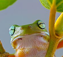 Australian Green Tree Frog, (Litoria caerulea) - Face by Normf