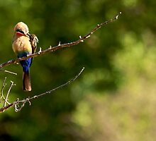 White-fronted Bee-eater by Shawn Peach