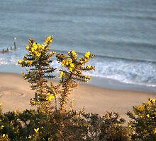 Gorse by Chris Day