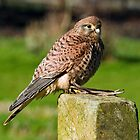Common Kestrel (Falco tinnunculus) by Steve  Liptrot