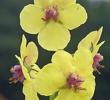 Yellow Moth Mullien Wildflowers - Verbascum blattaria by MotherNature