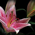 Lily and Buds by jacqi
