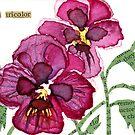 Viola tricolor (Viola) by Carol Kroll