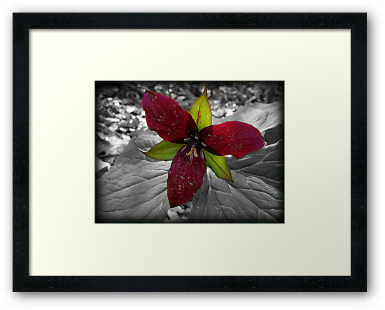 selective coloring flower-Trillium by vigor