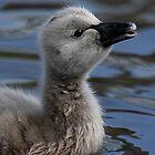 Cygnet  Not so ugly! by Mark Hughes