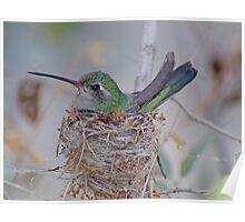 Nesting Boardbilled Hummingbird Poster