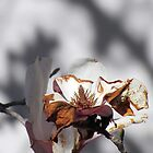 CHERRY MAGNOLIA BLOSSOM en SHADOW by Laura E  Shafer