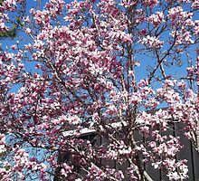 Magnolia Tree Behind Red Lobster (but Tulip to me, lol) by Charldia