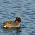 Green Winged Teal by bozette