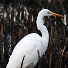 Great White Egret by bozette