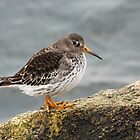 Purple Sandpiper in the Sun - Gloucester, Massachusetts by Steve Borichevsky