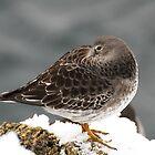 Purple Sandpiper in the Snow - Gloucester, Massachusetts by Steve Borichevsky