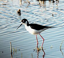 Black-necked Stilt Feeding by bozette