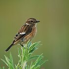 Stonechat by Nick Hart