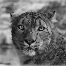 Snow Leopard by CJTill