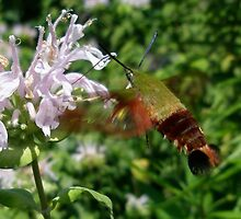 Hummingbird Hawk Moth (Macroglossum stellatarum) by MotherNature