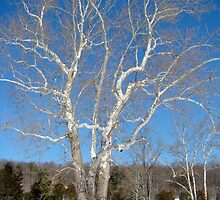 American Sycamore (Platanus occidentalis) by MotherNature