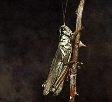 The Grasshopper by swaby