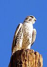 Prairie Falcon by Kimberly Chadwick