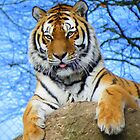 Dartmoor Zoo: 'Really Love Those Tiger Feet' by Rob Parsons
