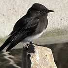 Black Phoebe ~ Tyrant Flycatcher by Kimberly P-Chadwick
