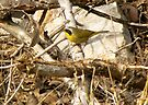 Common Yellowthroat ~ Male by Kimberly Chadwick