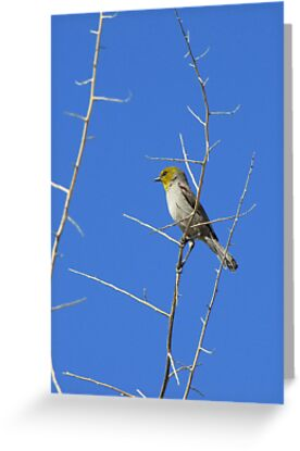 Verdin ~ Adult III by Kimberly Chadwick