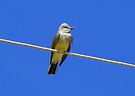 Western Kingbird ~ Adult by Kimberly Chadwick