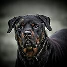 THE ROTTWEILER by Sandy Stewart