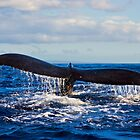 Big Whale Tail - a humpback dives by RobDeCamp